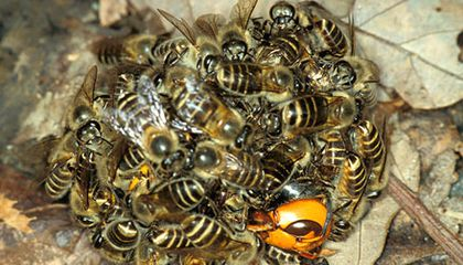 Bees protecting the hive